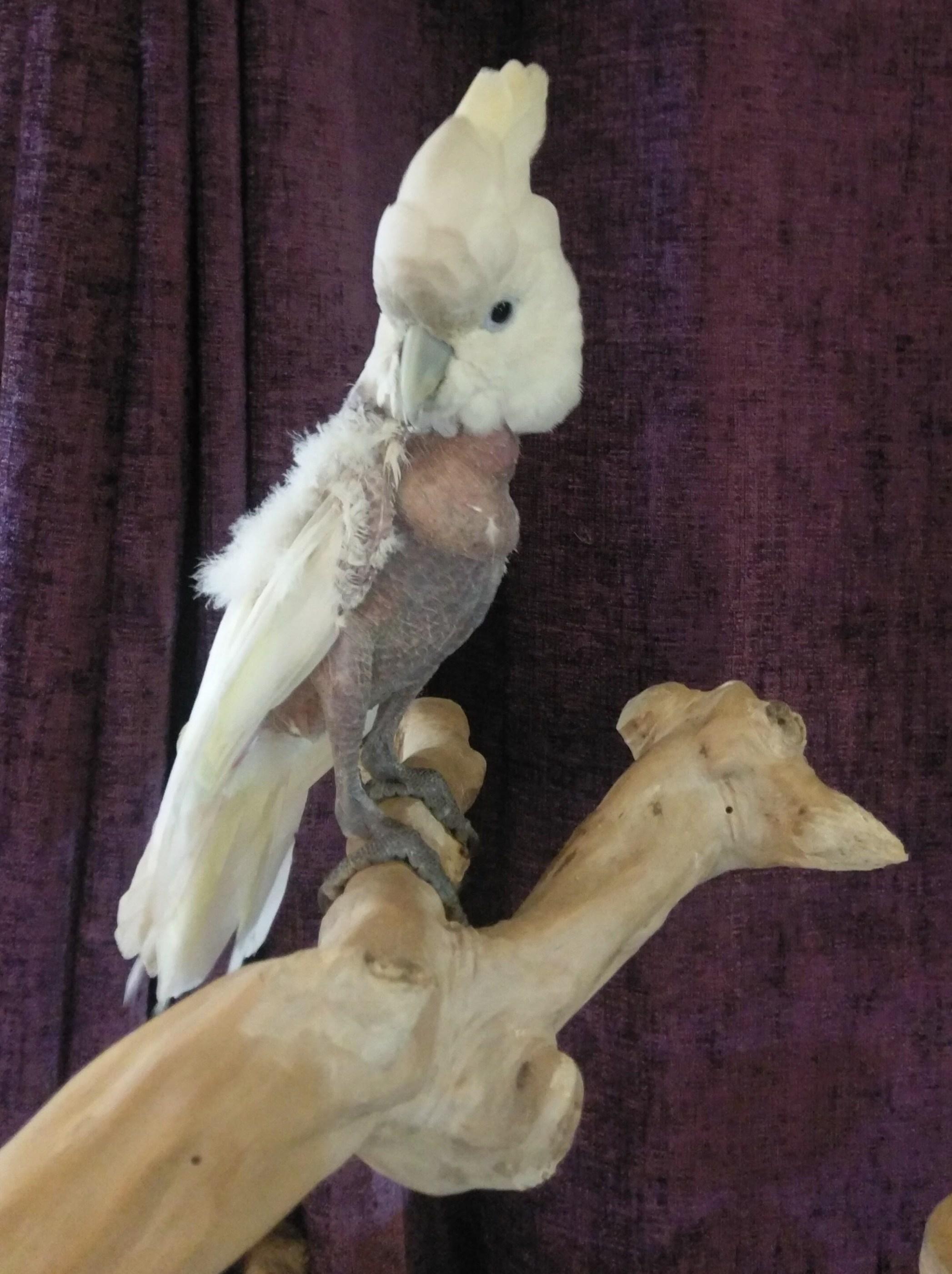 Darcy – Ducorps Cockatoo – 2347 - Special Case Image