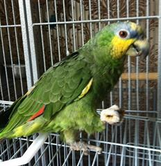 Cookie – Orange Winged Amazon – 4440613 Image